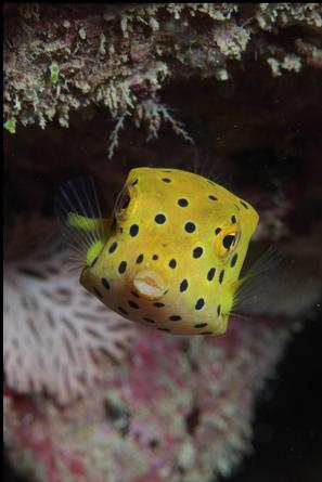 Yellow Boxfish Ostracion Cubicus 6 Ocean Creatures Sea Animals Animals