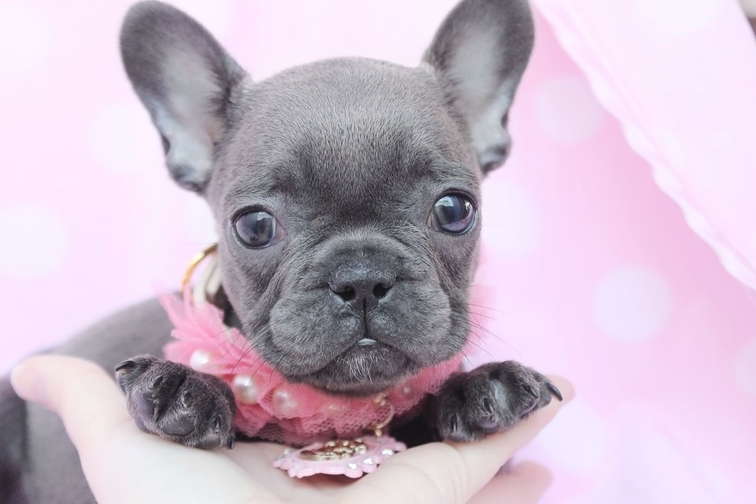 French Bulldog Puppy For Sale South Florida Teacup