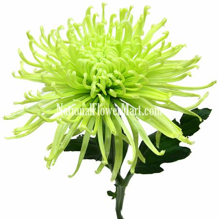 Pin On Flowers Peonies Daffodil Orchids Fugi Mums Others