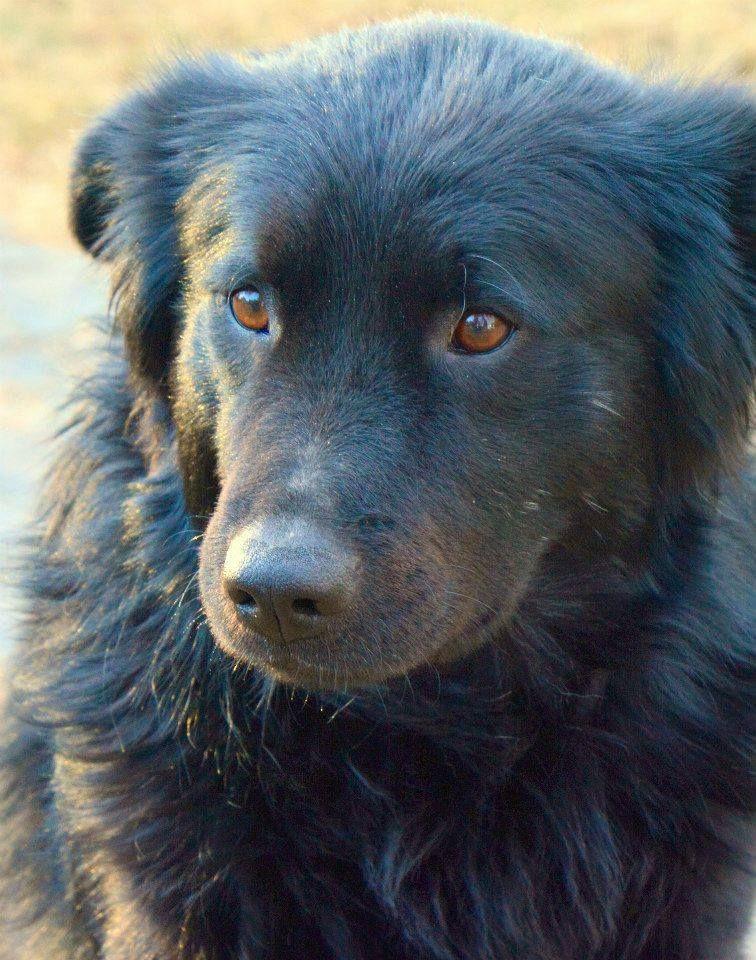 Adopt Dudley On Big Fluffy Dog Rescue Big Fluffy Dogs Fluffy Dogs