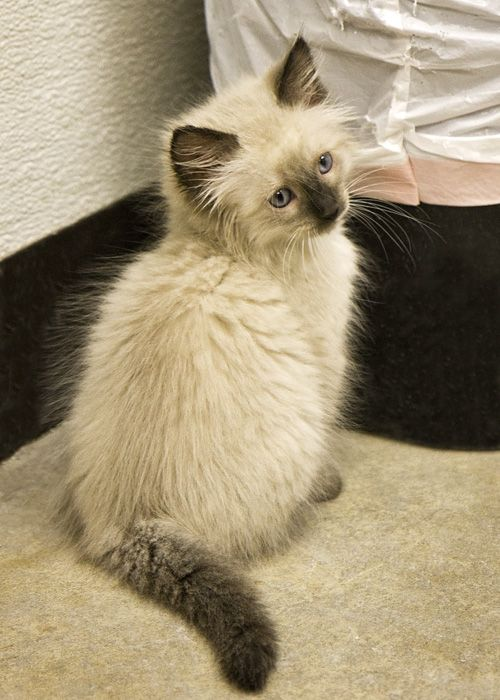 Long Haired Siamese Balinese Cat Kittens Cutest Crazy Cats