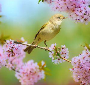 Пеночка весничка на сливе   Фотоохота, Растения и Природа