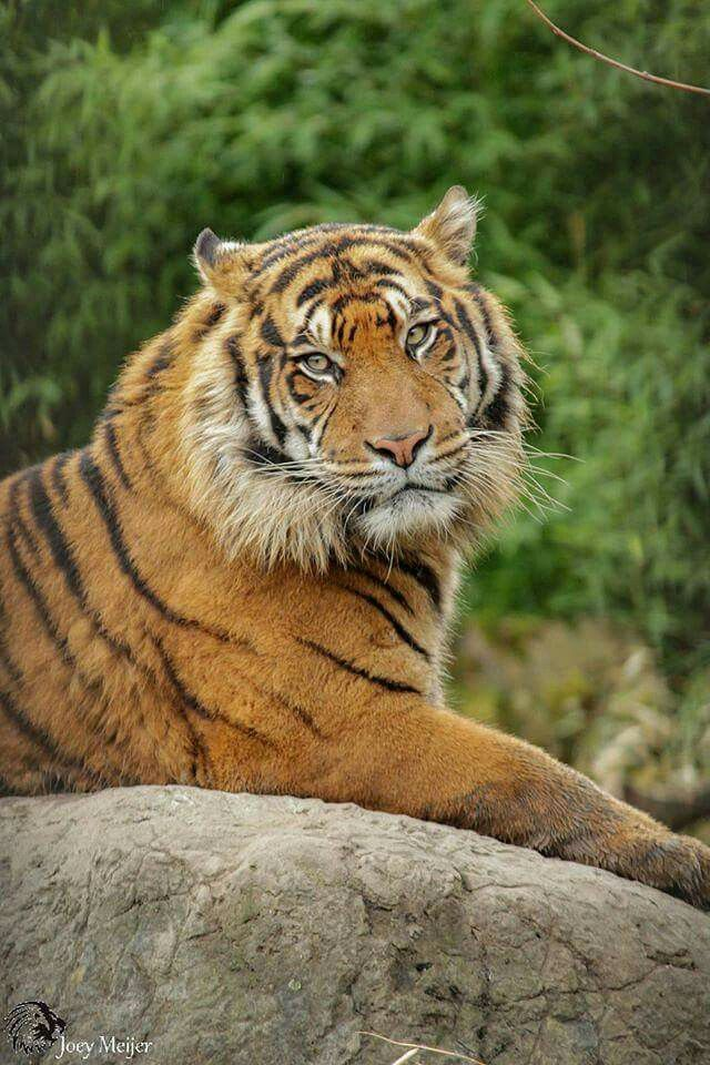 Pin by Beverly Rubio on Tigers (With images) Large cat