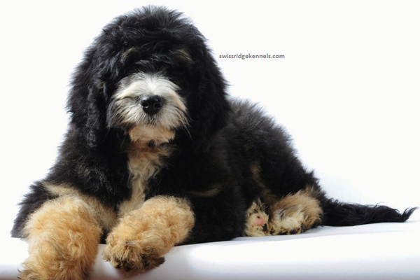 Top 5 Doodle Dog Breeds in America