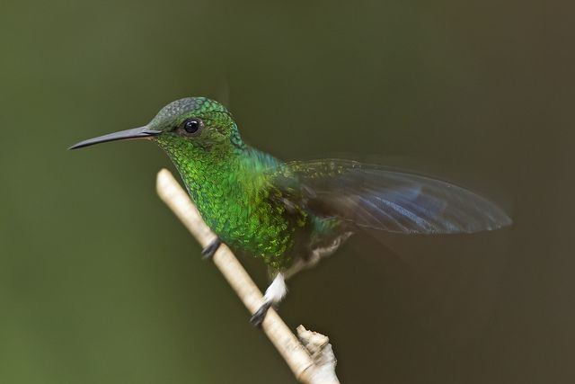Amazilia saucerottei - STEELY-VENTED HUMMINGBIRD 16 by jjarango, via Flickr