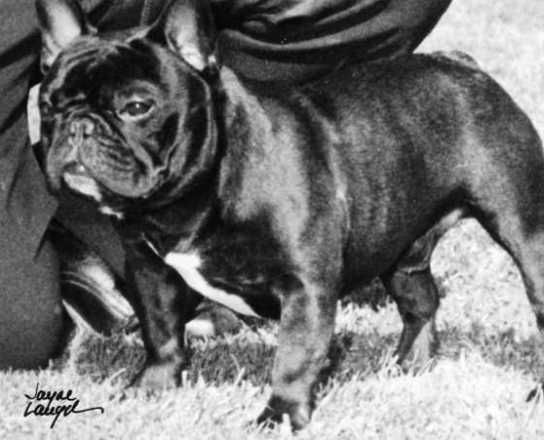 Adams Unique Physique Antique Frenchies French Bulldog