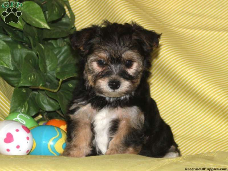 Simon Havashire Puppy For Sale From Quarryville Pa Havanese Puppies Puppies Dogs