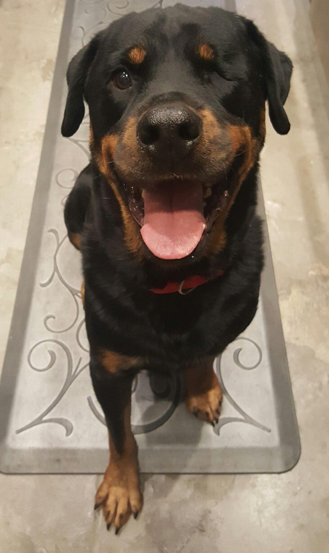 Rottweiler Dog For Adoption In Richmond Va Adn 565991 On