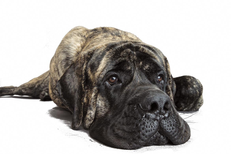 9 Best Mastiff Images Dog Breeds Mastiffs Mastiff Breeds