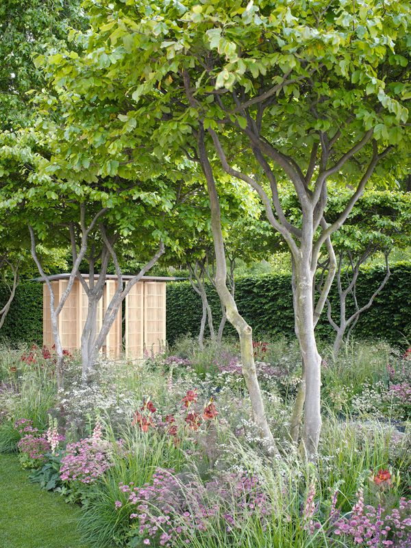 multi stemmed hornbeam with naturalistic under planting laurent perrier garden at rhs chelsea. Black Bedroom Furniture Sets. Home Design Ideas
