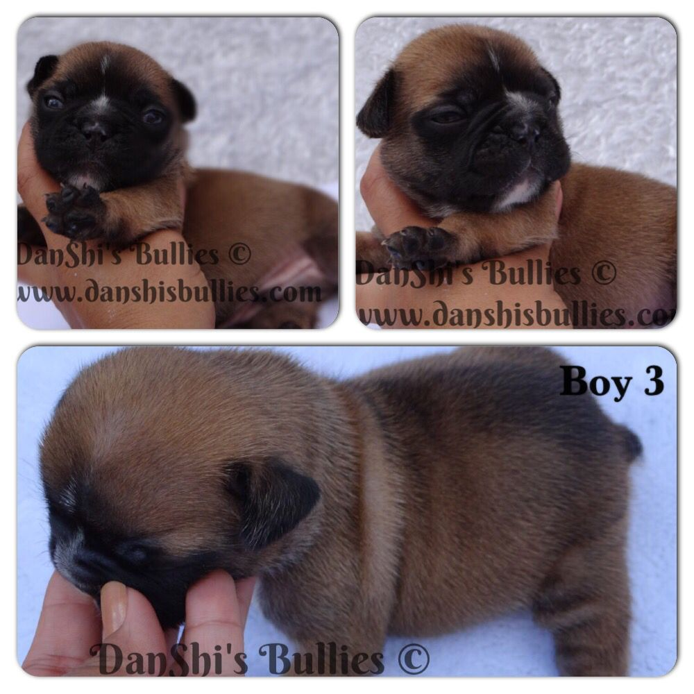 We Are 3 Weeks Old Today Danshisbullies Frenchbulldog Boy