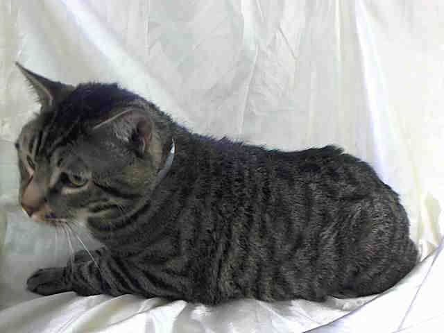 NYC TO BE DESTROYED 2/2/14 Manhattan Center This Dear Boy was taken to a KILL facility at 10 years of Age due to a MOVE :( My name is TIGER. My Animal ID # is A0990254. I am a male brn tabby domestic sh mix. The shelter thinks I am about 10 YEARS old. I came in the shelter as a OWNER SUR on 01/24/2014 from NY 10029, owner surrender reason stated was MOVE2PRIVA.