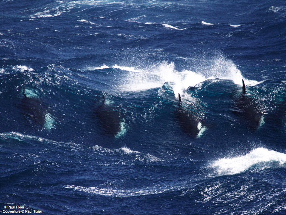 orcalovingbeing:Killer Whales of the Crozet Islands by Paul Tixier [x] Gorgeous orcas riding waves in the Indian ocean