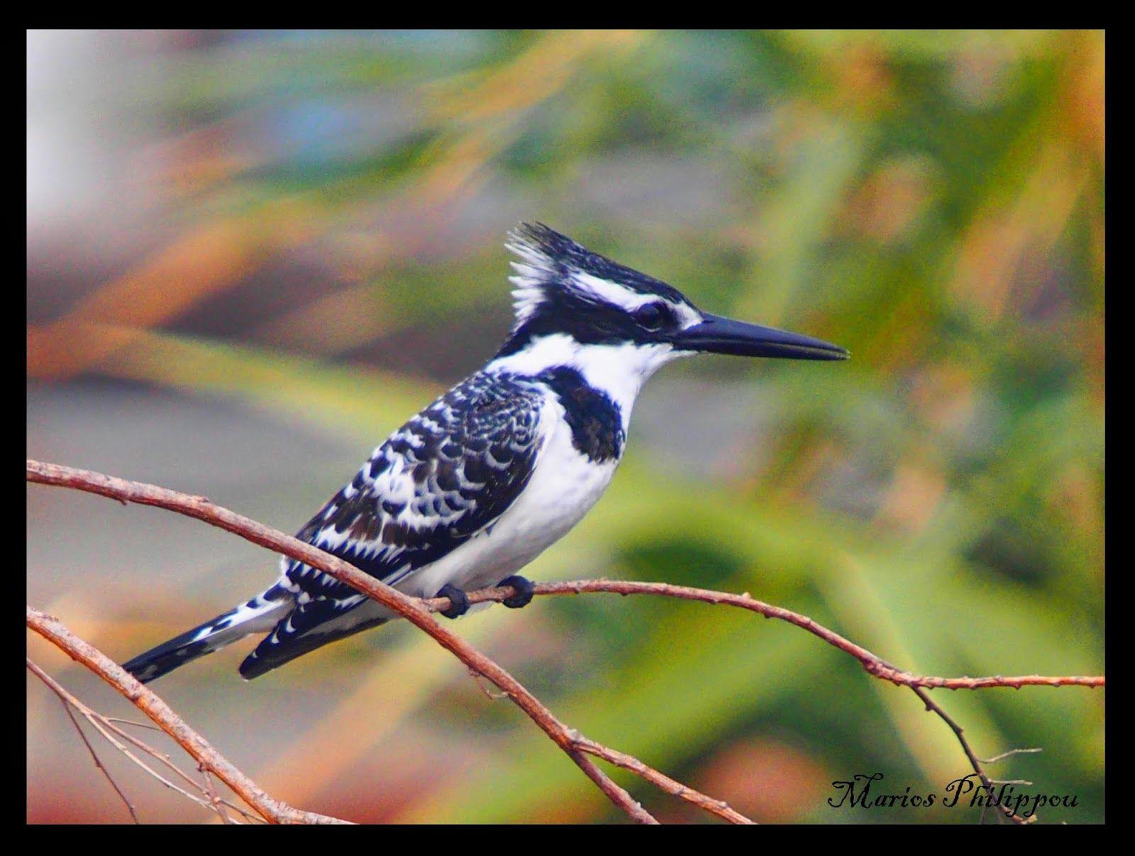 Bird Ceryle Rudis Pied Kingfisher