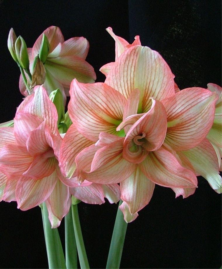 Amaryllis Zombie Christmas Flowering Double Amaryllis Amaryllis Flower Bulb Index Bulb Flowers Amaryllis Flowers Beautiful Flowers