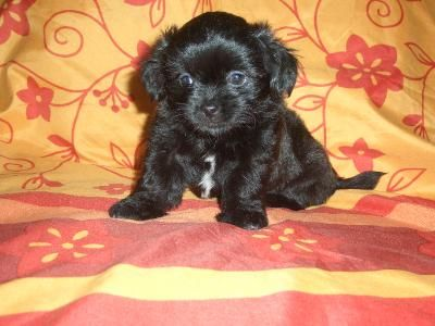I Have Dachshund Lhasa Apso Mix Puppies And One Looks A Lot Like