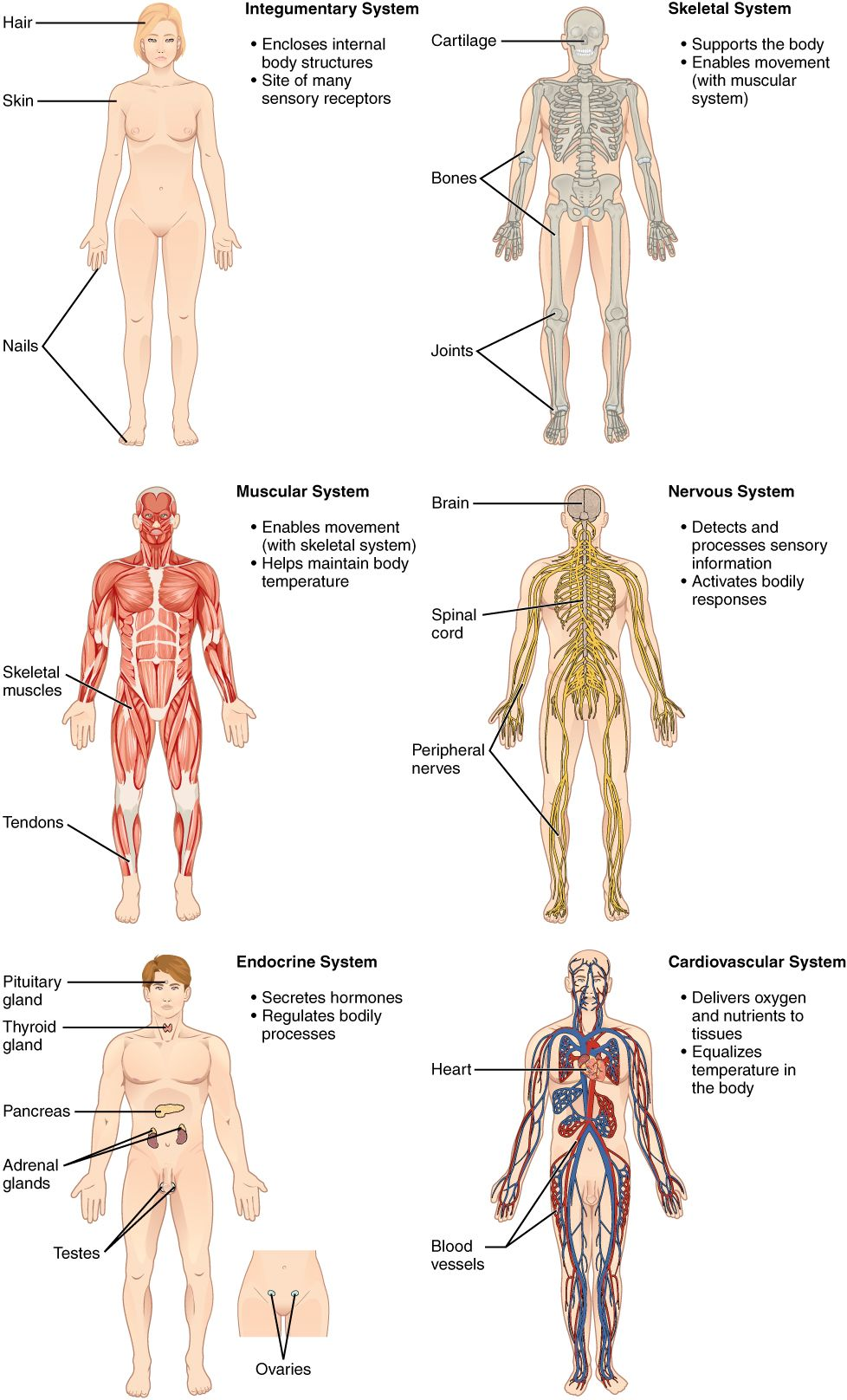 All Organ Systems Of The Body Structural Organization Of The Human