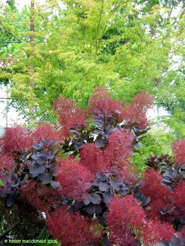 Royal Purple Smoke Tree This Looks Particularly Good Planted Next To A Chartreuse Colored Tree Or Bush Smoke Tree Smoke Bush Backyard Plants