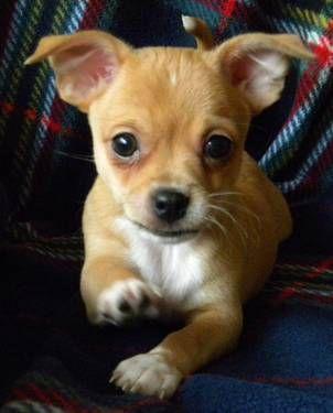 Gucci Very Small Chihuahua Boy Bred By Tiffany Chihuahuas