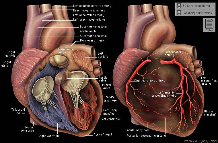 Yale: Cardiothoracic Imaging - Gross anatomy of the heart | A&P ...