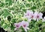 Pelaronium crispum variegatum - lemon scented w/ buttery creamy leaf outline