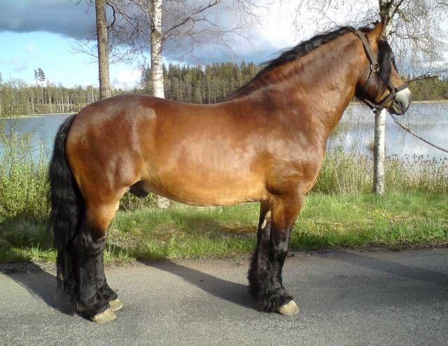 North Swedish stallion Lipton 1984