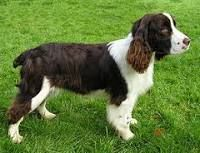 Litter Of 9 English Springer Spaniel Puppies For Sale In Lebanon Or Adn 32567 On Puppyfinder Springer Spaniel Welsh Springer Spaniel Springer Spaniel Puppies