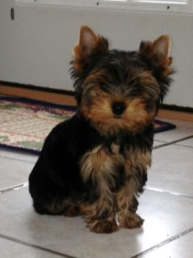 Cute Akc Yorkshire Terrier Male Puppy Yorkshire Terrier Terrier Puppies