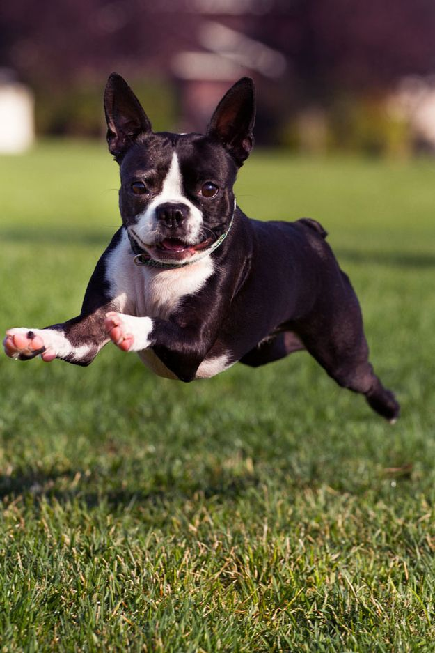 The Boston Terrier Is The Official State Dog D Aww Boston Terrier Boston Terrier Love Boston Bull Terrier