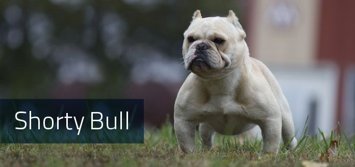 Shorty Bull Yet Another Designer Bulldog This 40lb Breed