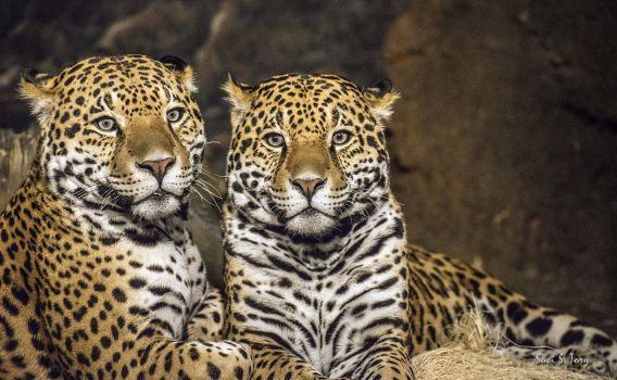 Jaguar San Antonio >> Two Jaguars Coming To San Antonio Zoo To Mate Jaguar Woodland
