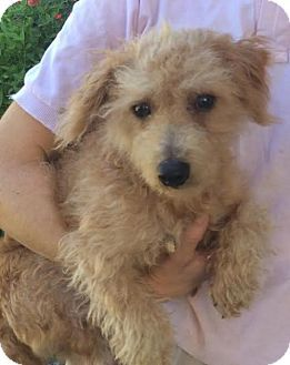 Columbia Tn Jack Russell Terrier Poodle Miniature Mix Meet