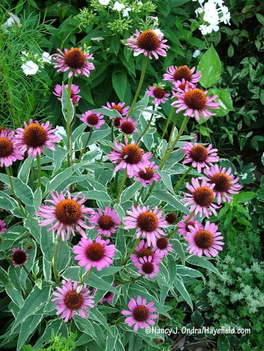 The Fine Ivory Edge On The Leaves Of Prairie Frost Purple Coneflower Echinacea Purpurea Adds An Extra Touch Of Char Variegated Plants Echinacea Fall Plants