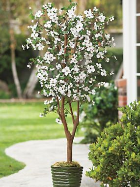 5 Ft Dogwood Tree Brings Attractive Color Indoors Solutions