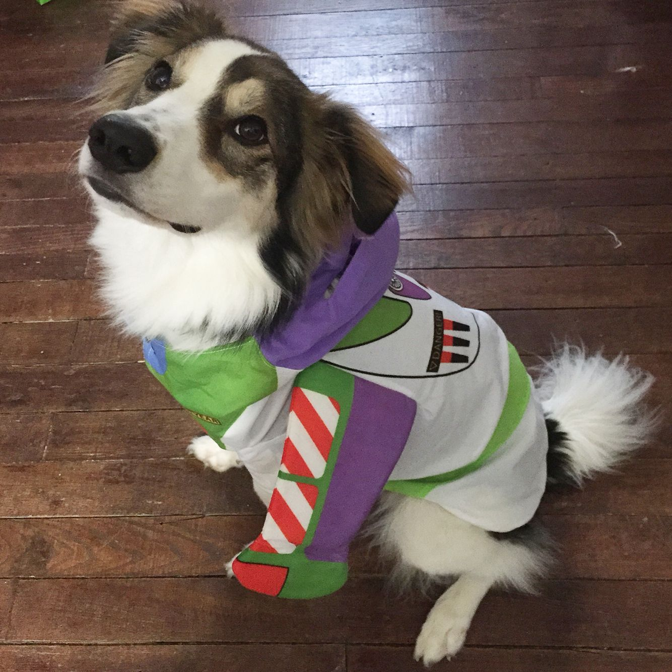 So Proud Of His Buzz Lightyear Costume Australian Shepherd Dog