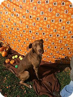 Flint Mi Weimaraner Labrador Retriever Mix Meet Duke A Dog For Adoption Http Www Adoptapet Com Pet 11816291 Flint Michigan Dog Adoption Weimaraner Pets