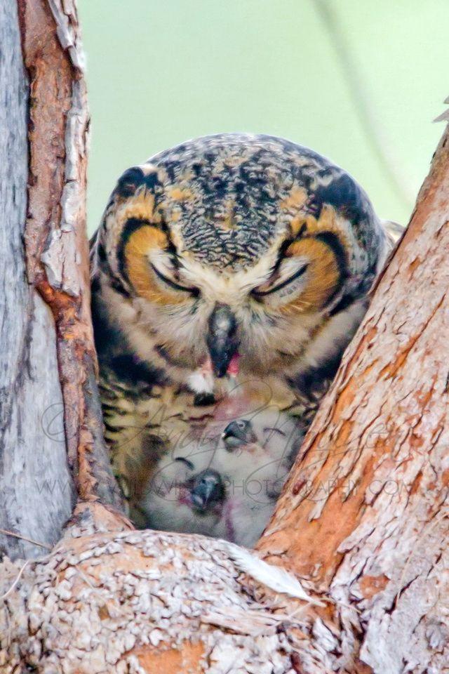 # OWL MOTHER TENDING HER OWLET