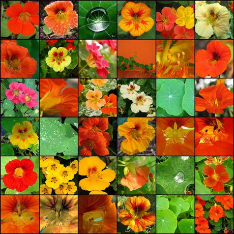 Nasturtium recipes - edible flowers (and leaves)