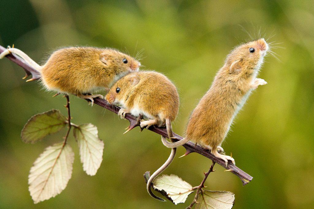 Harvest Mouse Micromys Minutus 1 Edit Harvest Mouse Pet Mice Animals Beautiful