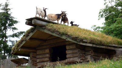 goats on the sod roof at Coombs, Vancouver Island, BC