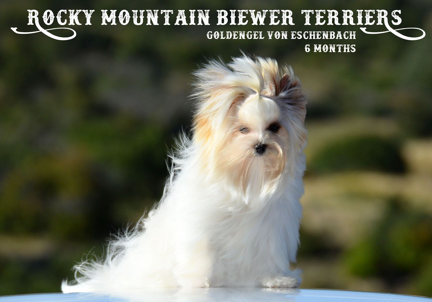 Biewer Terrier Stud Service Is Available To Selected Females At Rocky Mountain Biewer Terriers Yorkshire Terrier Yorkshire Terrier Dog Yorkshire Terrier Training