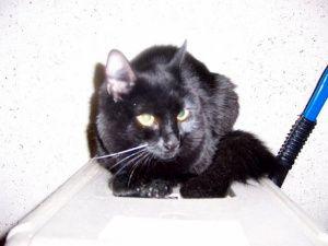 Sheba Is An Adoptable Turkish Angora Cat In New York Ny This