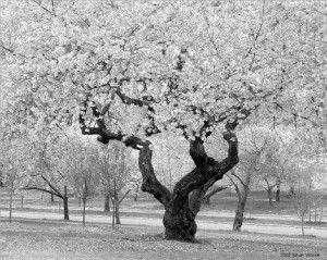 White Cherry Blossoms Black And Image