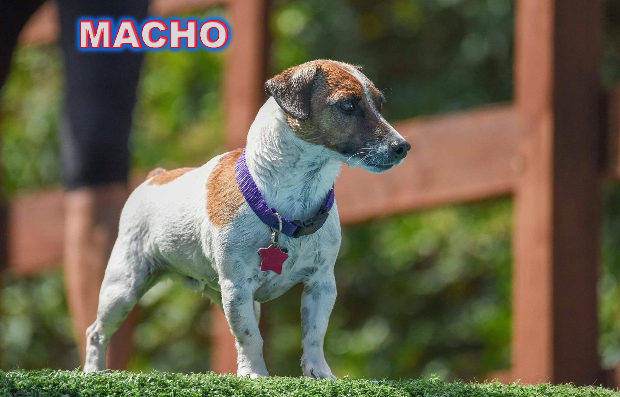Today's Dog of the Day: Macho Meet the Talented Dock Diving JRT Champ: http://bit.ly/1RTDG6l