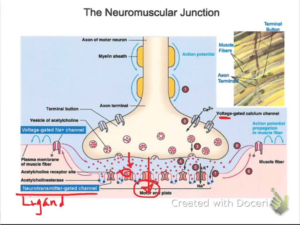 Events at the Neuromuscular Junction AP Videos – Neuron and Neuromuscular Junction Worksheet