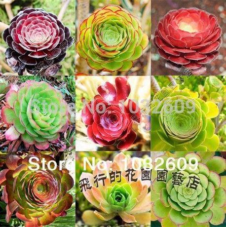 AEONIUM succulent mini plant 20pcs Mix  9kinds Succulent Seeds suculentas mini bonsai Tree for home flower pots planters