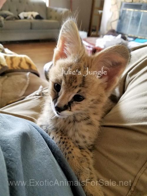 Boy and Girl Serval kittens 5000 for Sale Serval kitten