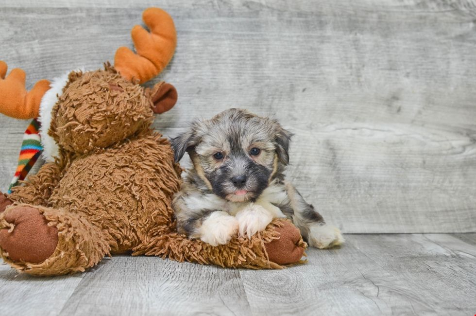 Havanese Puppies for Sale Ohio Havanese Pups Online