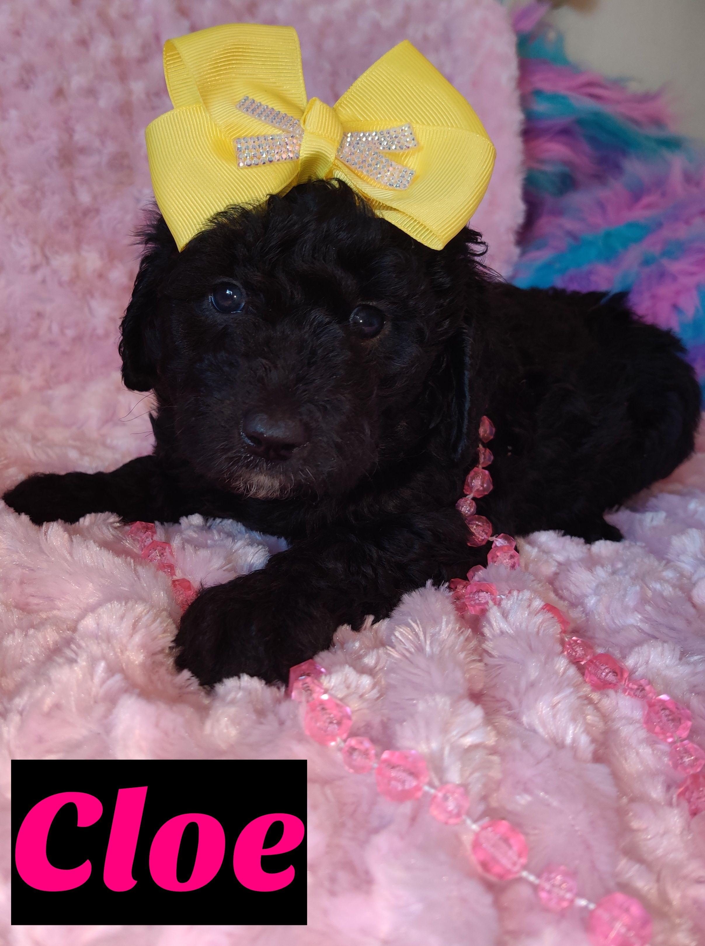 Cloe female doggie Mini Goldendoodle for sale in Saint