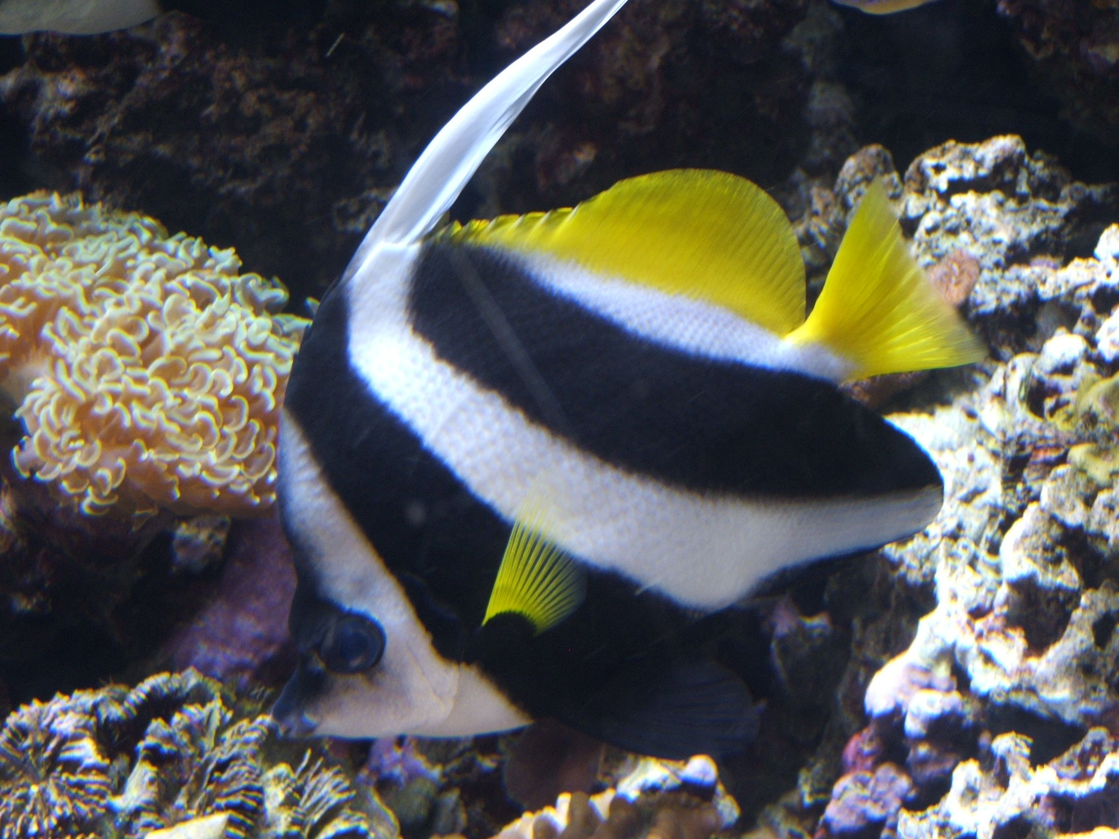 Heniochus Acuminatus Description Longfin Bannerfish Heniochus Acuminatus 01 Jpg Fish Marine Fish Fish Pet